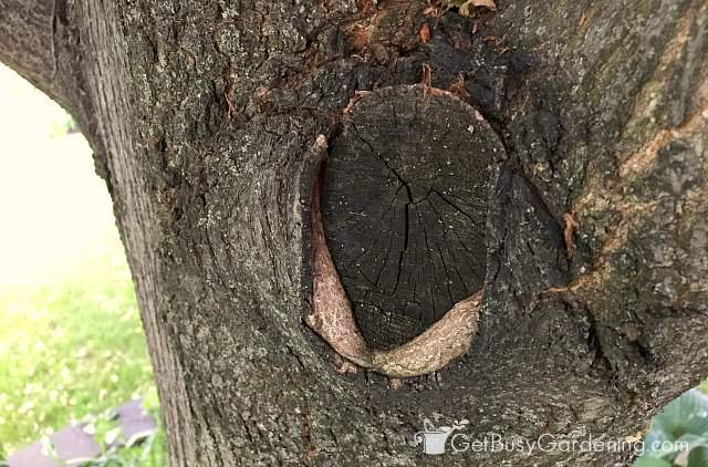 Branch collar damaged during improper tree branch removal